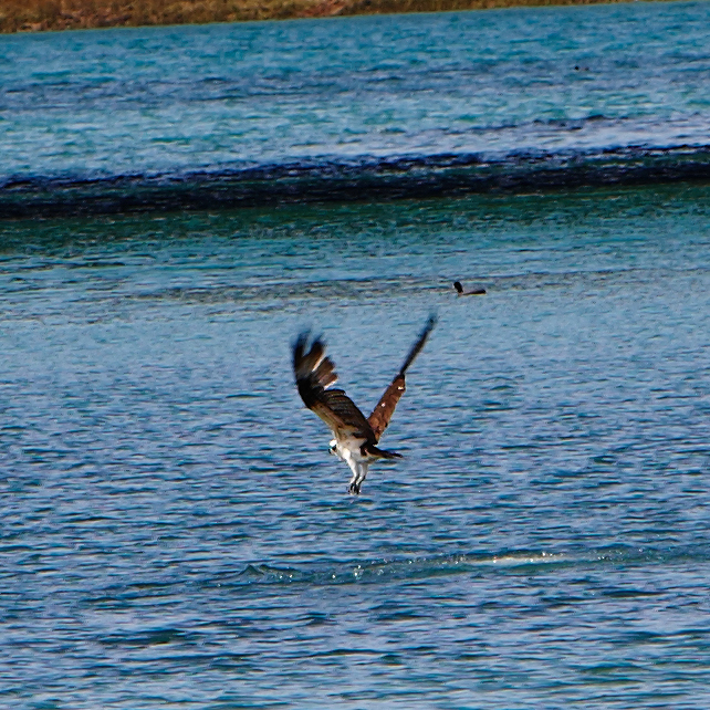 Diving Osprey
